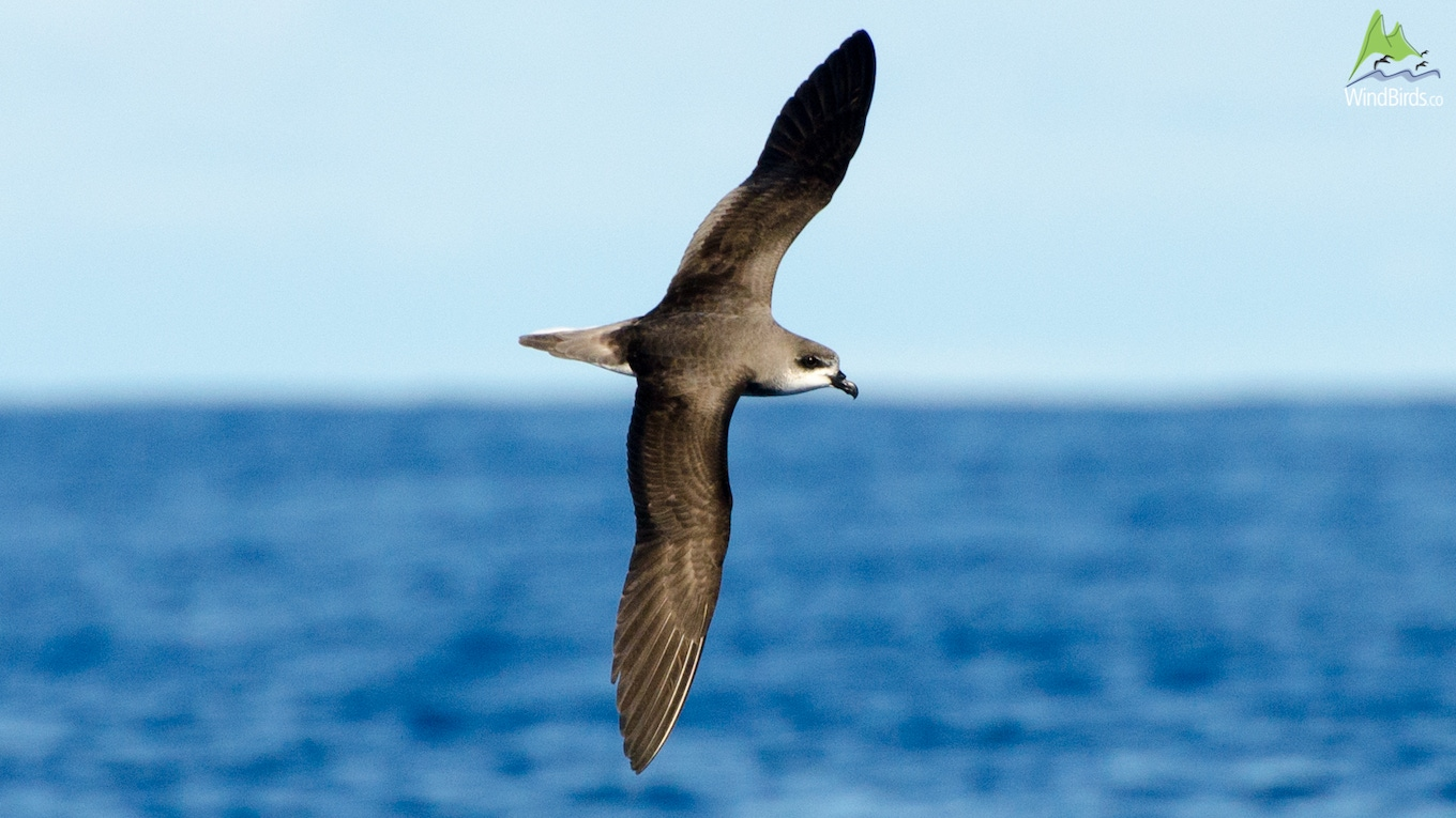 Madeira Bird Watching Feas Petrel