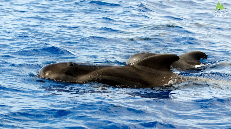 Whale Watching Madeira short finned pilot whale globicephala macrorhynchus