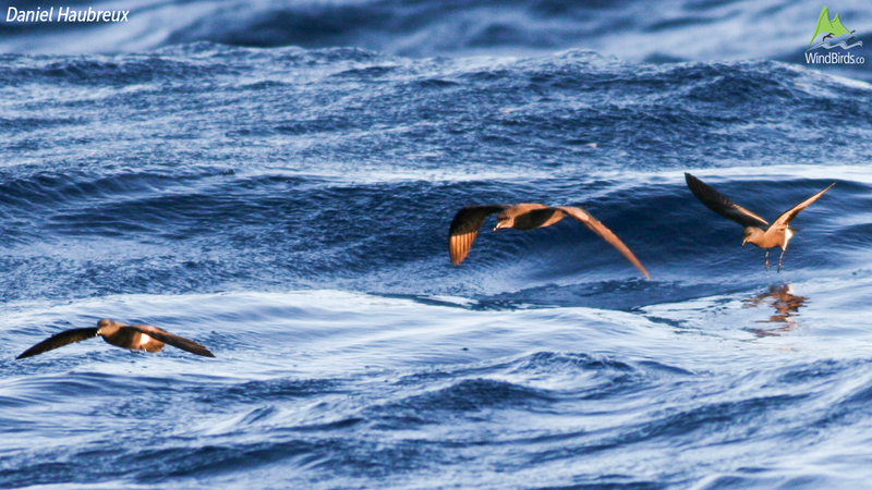 Madeiran Storm Petrel Oceanodroma castro with Bulwer's Petrel Bulweria bulwerii