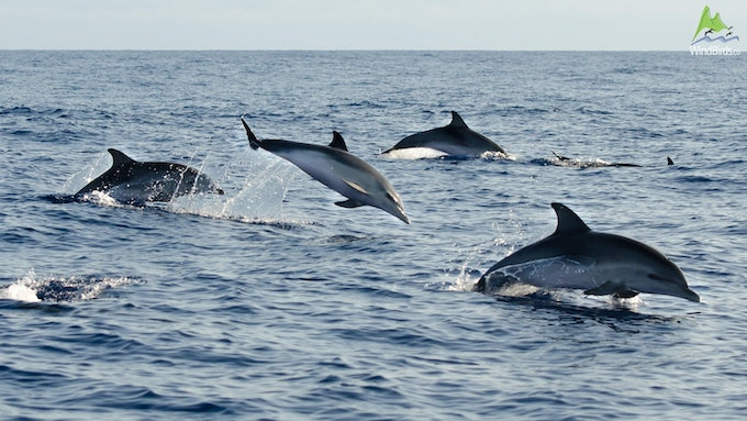 Atlantic Auto Sales >> Birds, Whale & Dolphin Watching in Madeira by Madeira Wind Birds