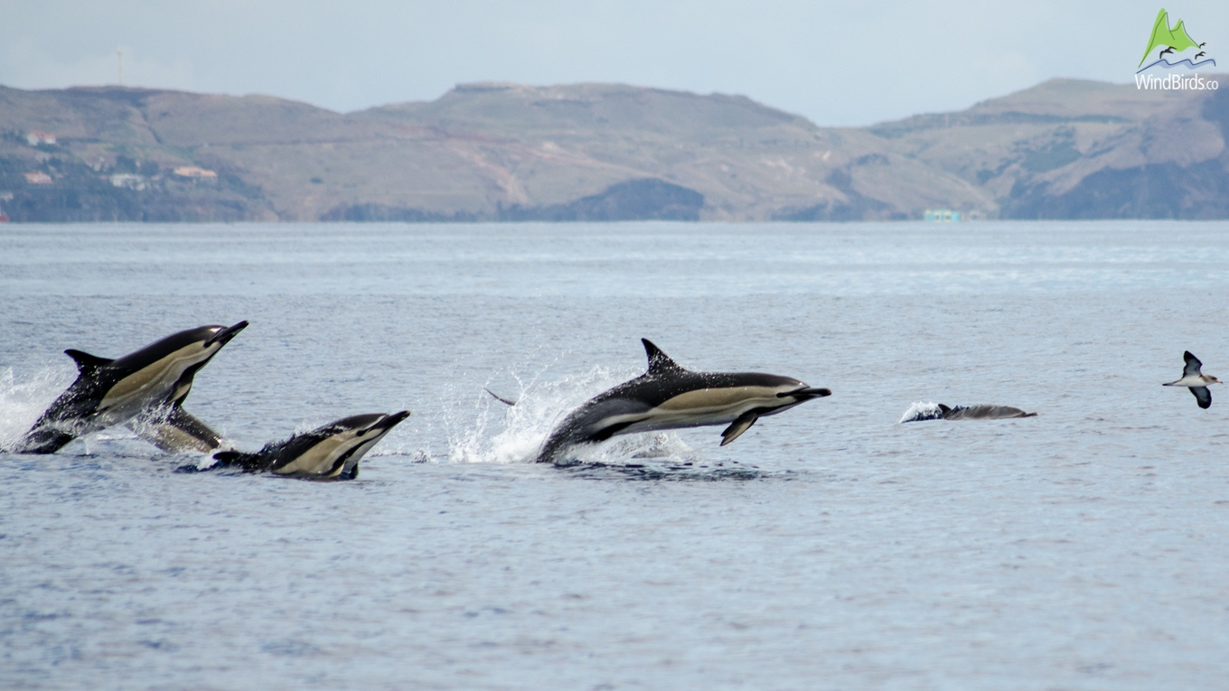 Whale Watching Madeira short-beaked common dolphin Delphinus delphis